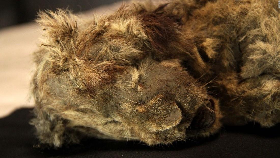 Mira la momia de un cachorro de león conservado por 28.000 años