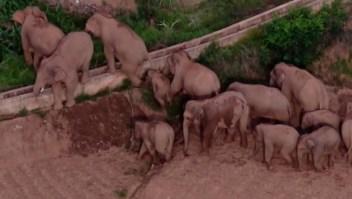 Famosa manada de elefantes nómadas regresa a casa