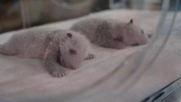 Ve a los pandas que nacieron hace 11 días en un zoológico