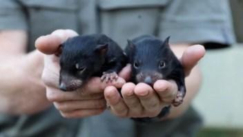 """Nacen dos """"pequeños demonios"""" en Australia"""