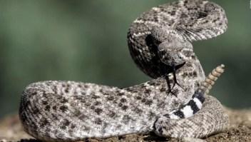 Estudio revela cómo sobreviven las serpientes cascabel