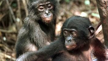 Los simios y sus similitudes con los humanos
