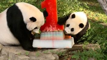 El panda Shashi cumple un año y lo celebran con pastel