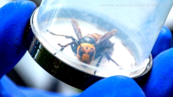 "Erradican nido de ""avispones asesinos"" en Washington"