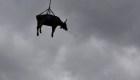 """El día que las vacas """"vuelen"""" llegó: mira rescate aéreo"""