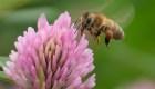 Descubren abeja andrógina en Ecuador