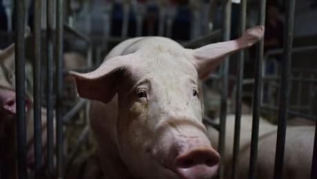 república-dominicana-peste-porcina