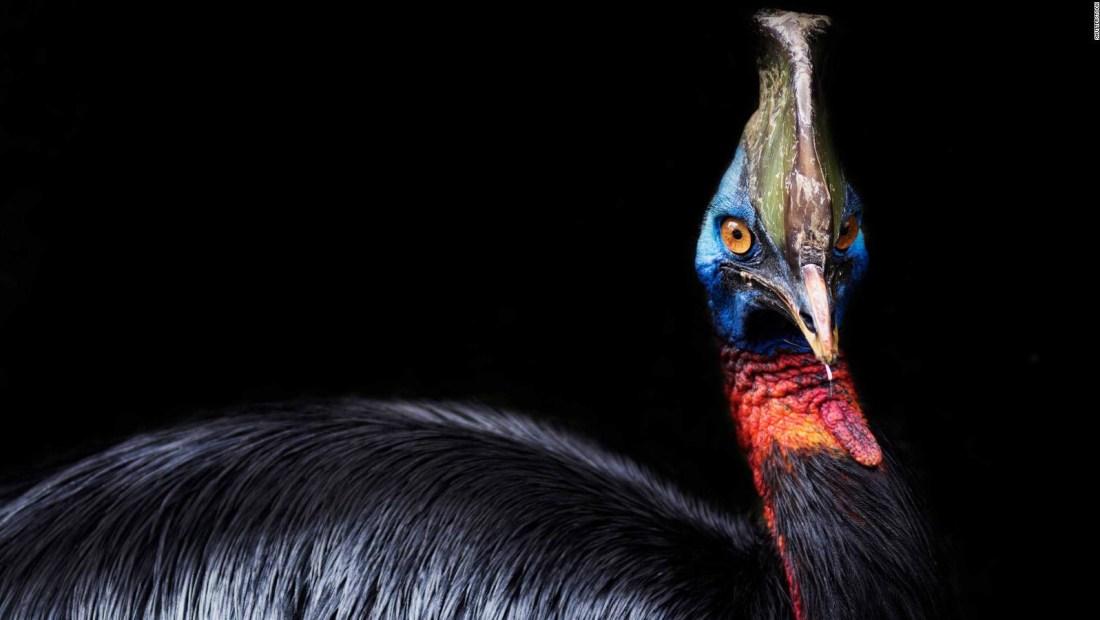 """Primera ave domesticada, la """"más peligrosa del mundo"""""""