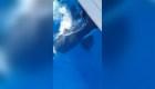 Susto por grupo de orcas que atacan velero