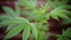 El presente y futuro del mercado del cannabis