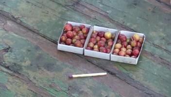 Micromanzanas son cosechadas a temperaturas heladas