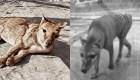 Video a color de un tigre extinto hace casi un siglo