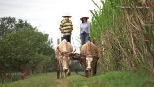 Reconecta con Paraguay y su caña de azúcar