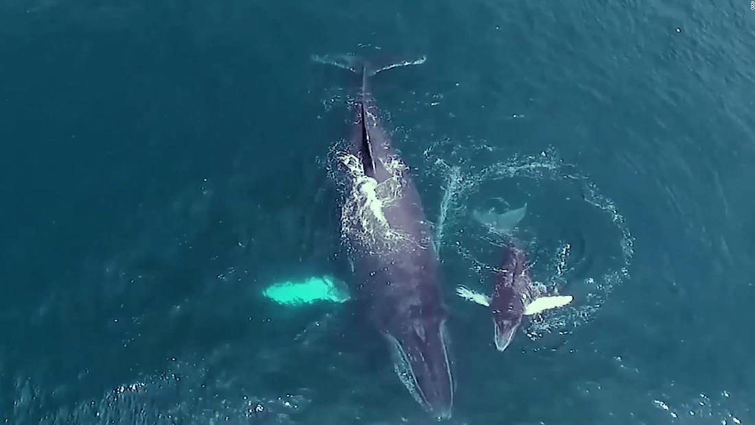 Mira el ritual de estas ballenas para tener sus crías
