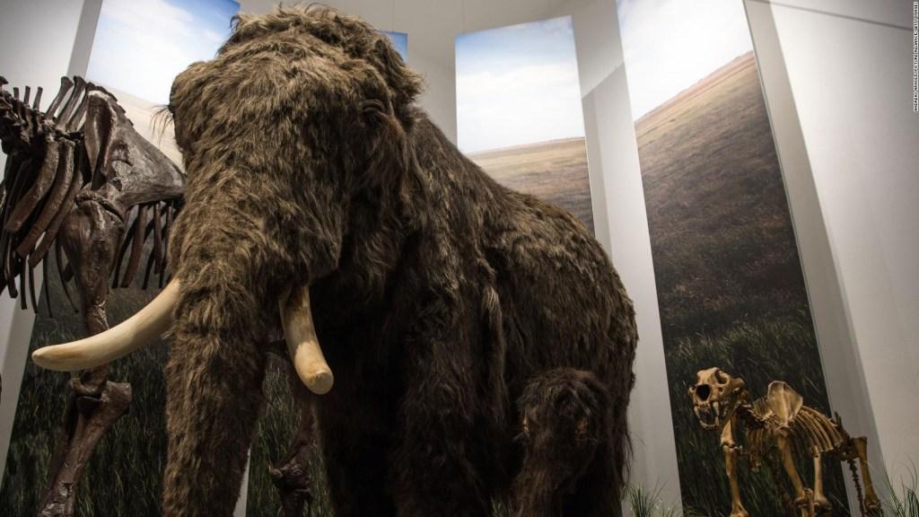 Genetistas buscan revivir a un mamut lanudo, ¿es ético?