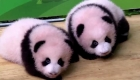 Mira a estos adorables bebés panda gemelos de 100 días