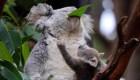 Australia perdió un 30% de koalas en solo 3 años