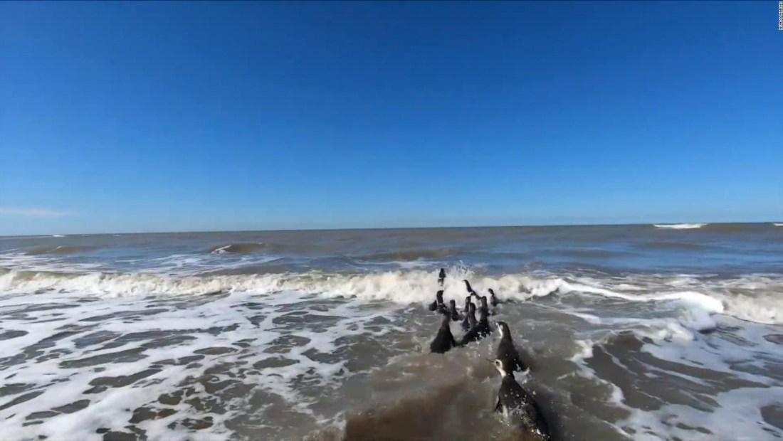 14 pingüinos rescatados regresan al mar