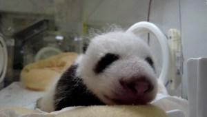 Histórico nacimiento de pandas gigantes en China