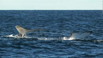 Dron capta una carrera de cortejo de ballenas jorobadas