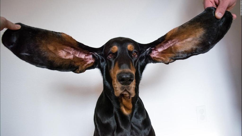 Questo è il cane con le orecchie più grandi del mondo