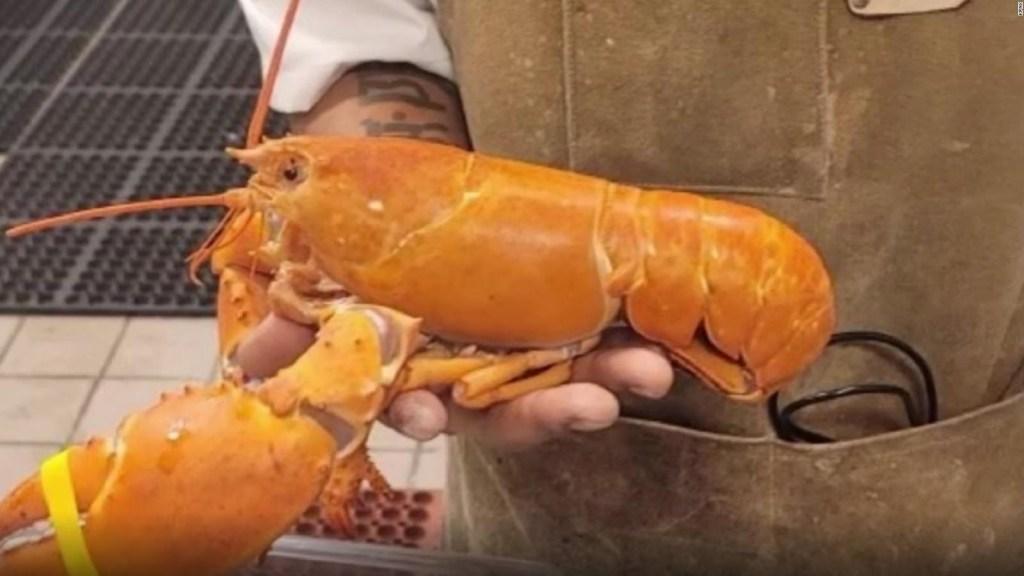 L'aragosta arancione viene salvata dall'essere mangiata dal suo colore