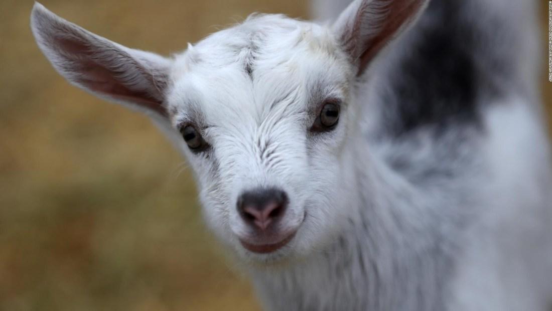 Mira a estas cabras fugitivas paseando por Atlanta