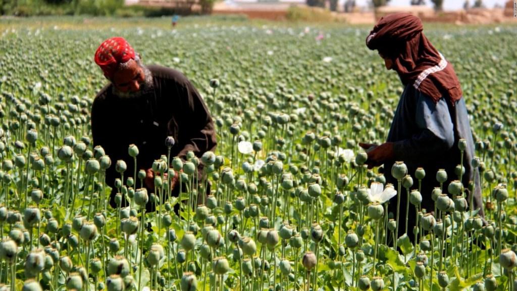 Talibán debe decidir sobre el cultivo de opio