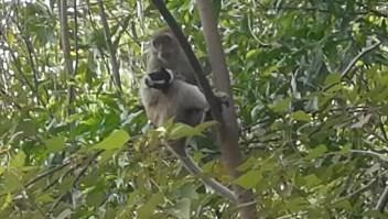 "Un mono ""secuestró"" por días a un cachorro"