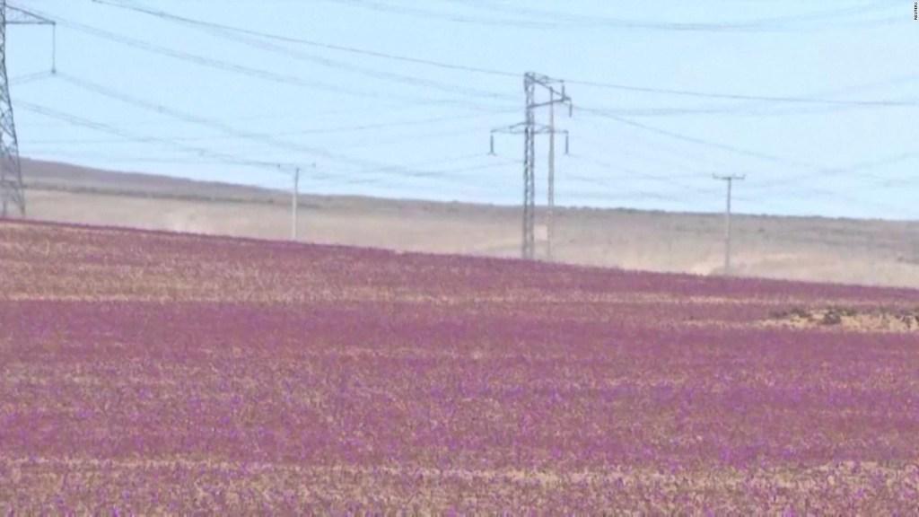 Buscan llevar la primavera al desierto de Atacama