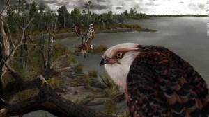 águila Australia