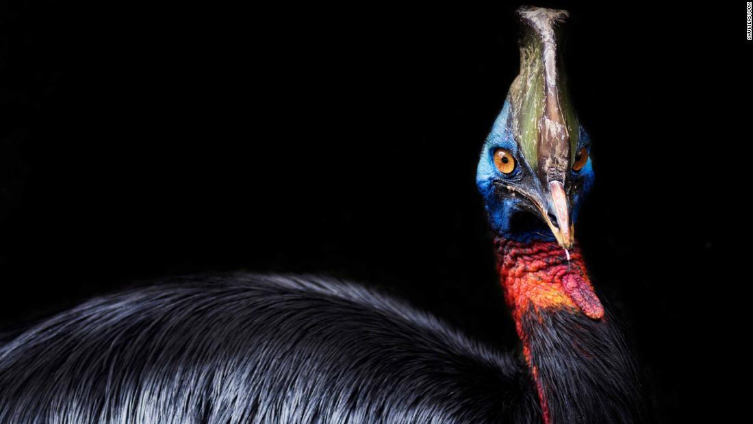 Hace 18.000 años, los humanos ya criaban al ave más peligrosa del mundo, según un estudio
