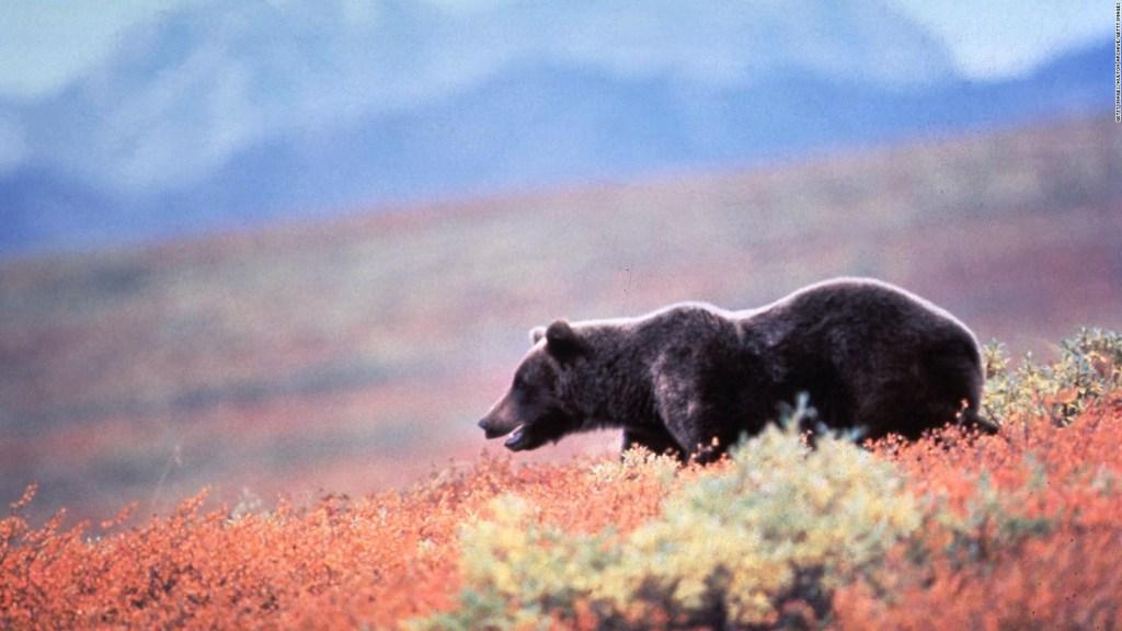 Celebrano la settimana dell'orso grasso: di cosa si tratta?