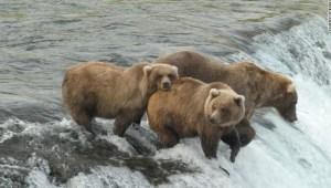 fat bear oso gordo