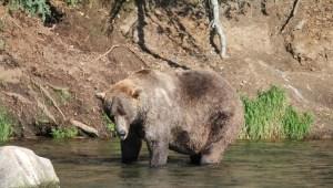 oso gordo
