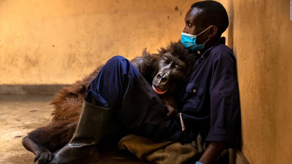 Muere famosa gorila de selfie viral en brazos de su amigo