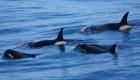 Científicos hallan orcas cazadoras de grandes mamíferos