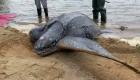 Así ayudaron a esta tortuga a volver al océano