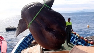 Expertos quedan perplejos ante este pez gigante