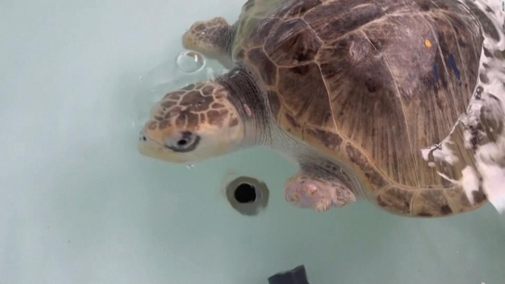Ayudan a tortugas marinas en Ecuador