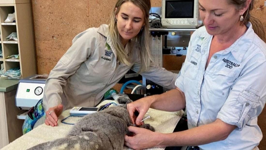 Vacunan contra clamidia a koalas australianos