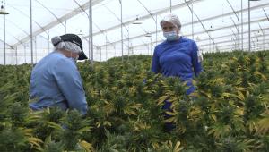 Colombia exportará marihuana para fines medicinales