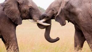 ¿Por qué algunos elefantes nacen sin colmillos para sobrevivir?