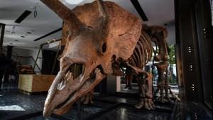 Venden por US$ 7,7 millones el Tricératops más grande del mundo