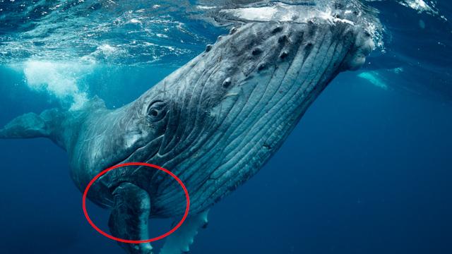 """Investigadores enseñan la """"mano"""" oculta de cinco dedos que tienen las ballenas"""